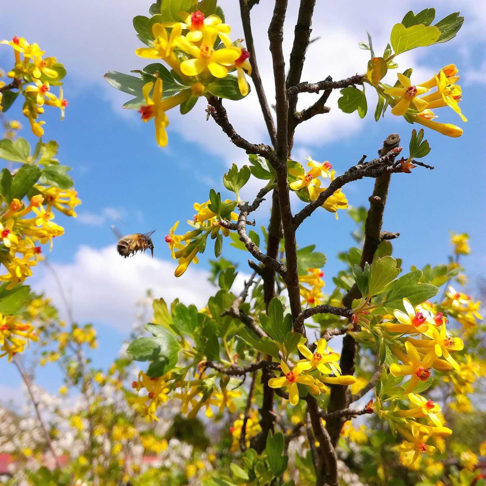 Trzmiel zbiera nektar